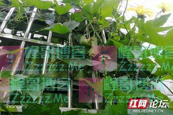今年的丝瓜长得好,农家的种子就是不一样!