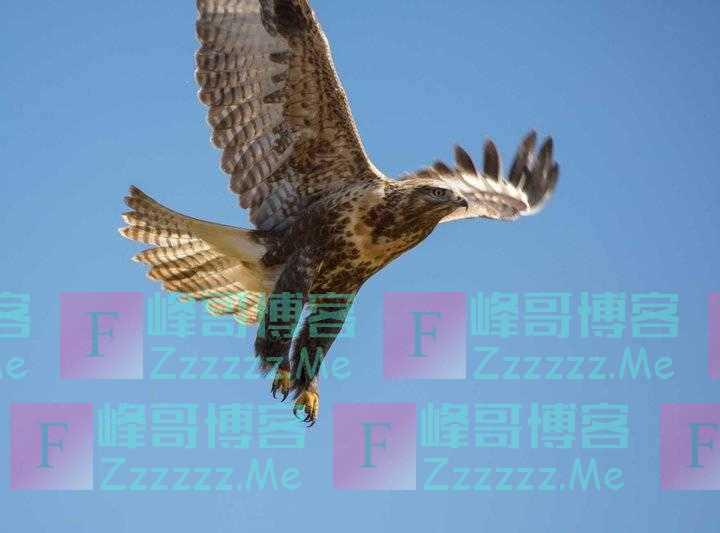 青藏高原野生飞禽——鹰