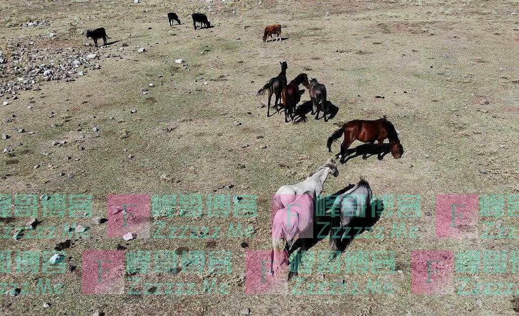 """土耳其安塔利亚省大火过后 牲畜""""干草场""""上食草"""