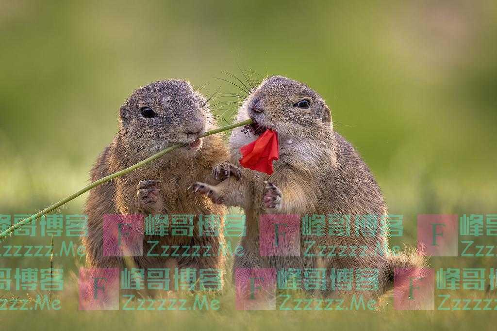 """匈牙利:松鼠觅食途中""""开小差"""" 小脑袋凑一起闻花香表情陶醉"""