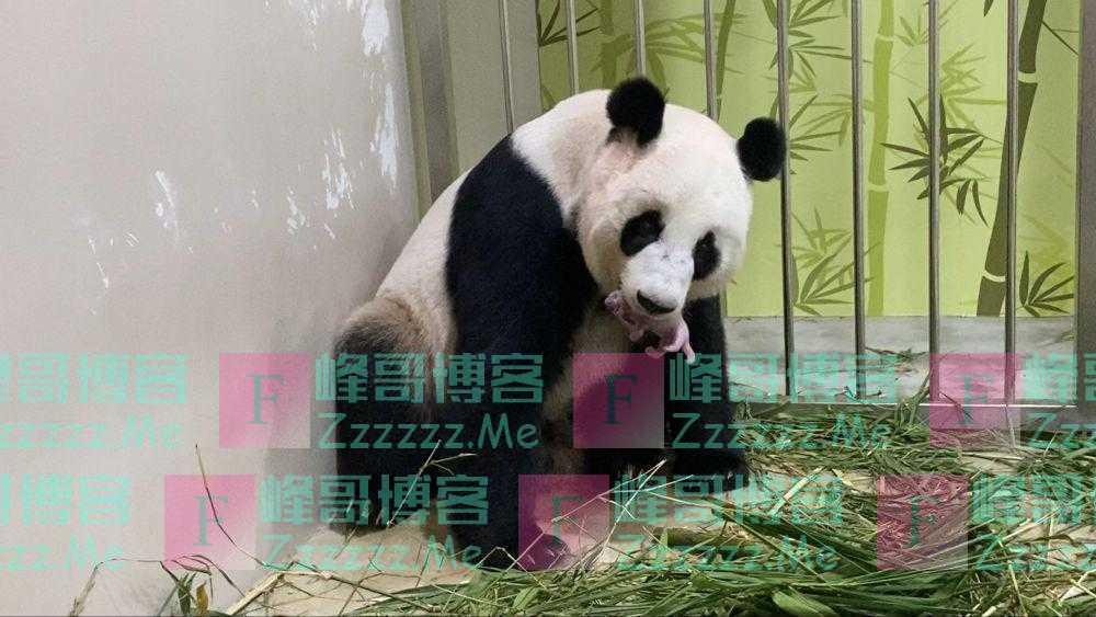 """旅新大熊猫""""嘉嘉""""诞下首只宝宝"""