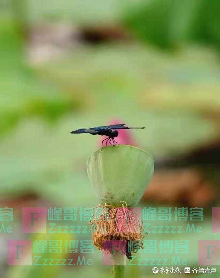 行摄华山——荷塘的黑蜻蜓