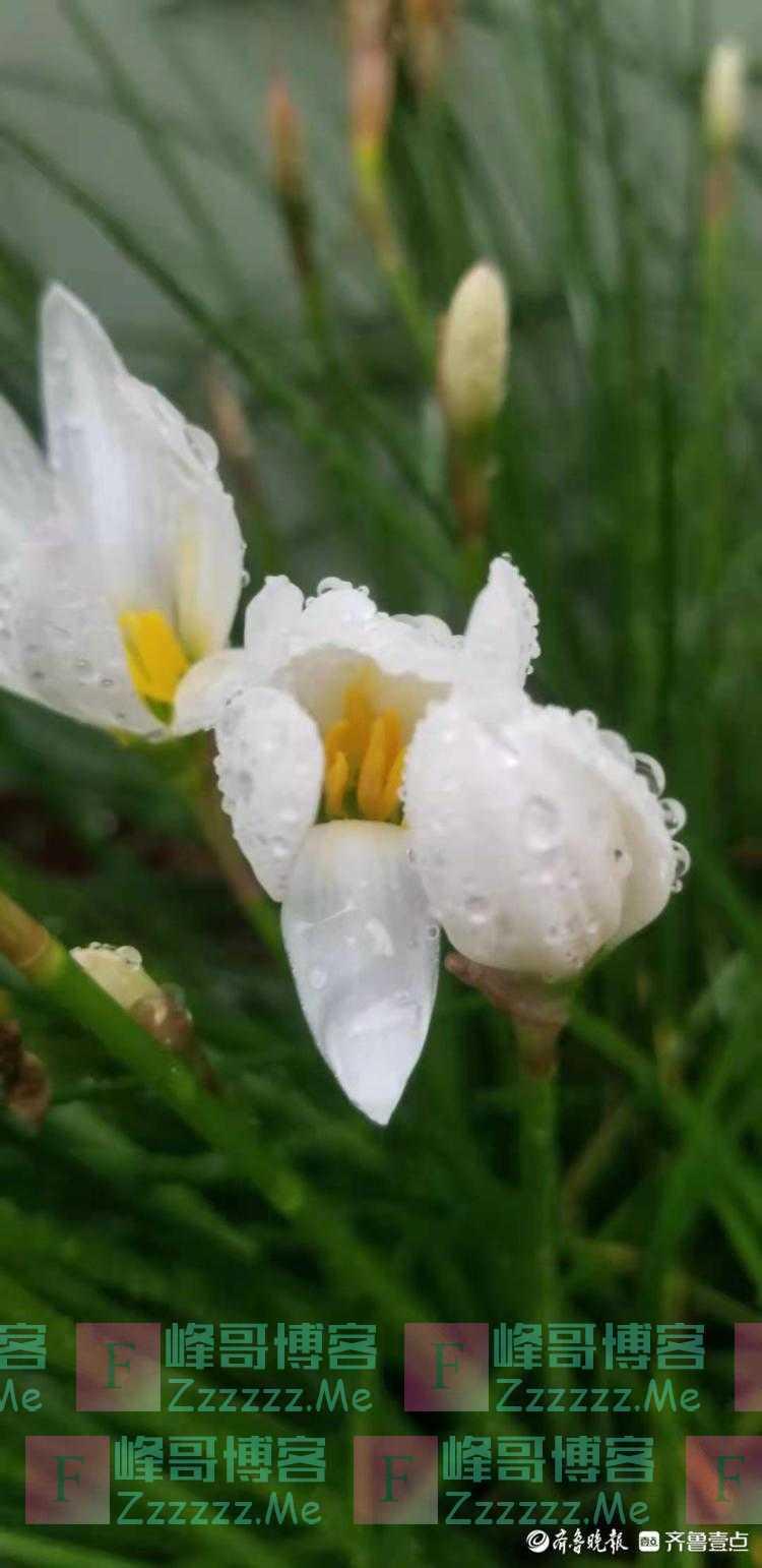 雨中水仙花,晶莹如玉