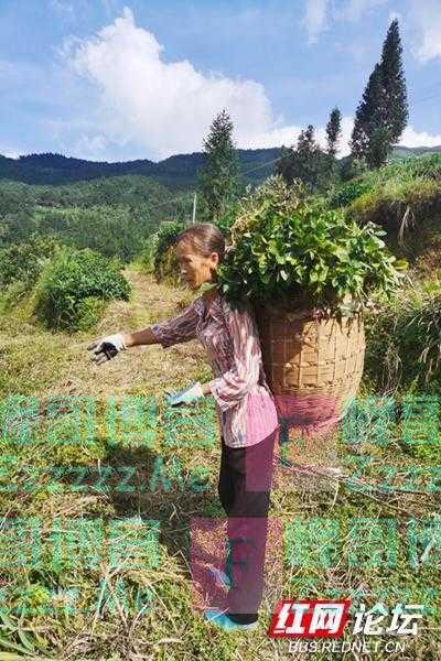又到花生收获季,背篓里满满都是秋天的味道
