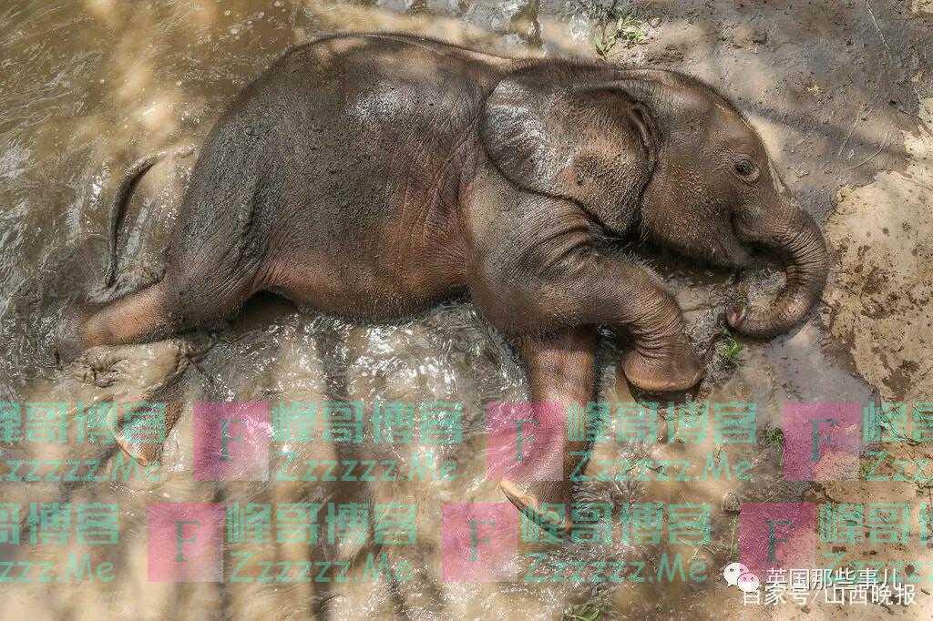 孤儿小象从小被村民养大,科学家要用粪便和DNA,帮它找妈妈!