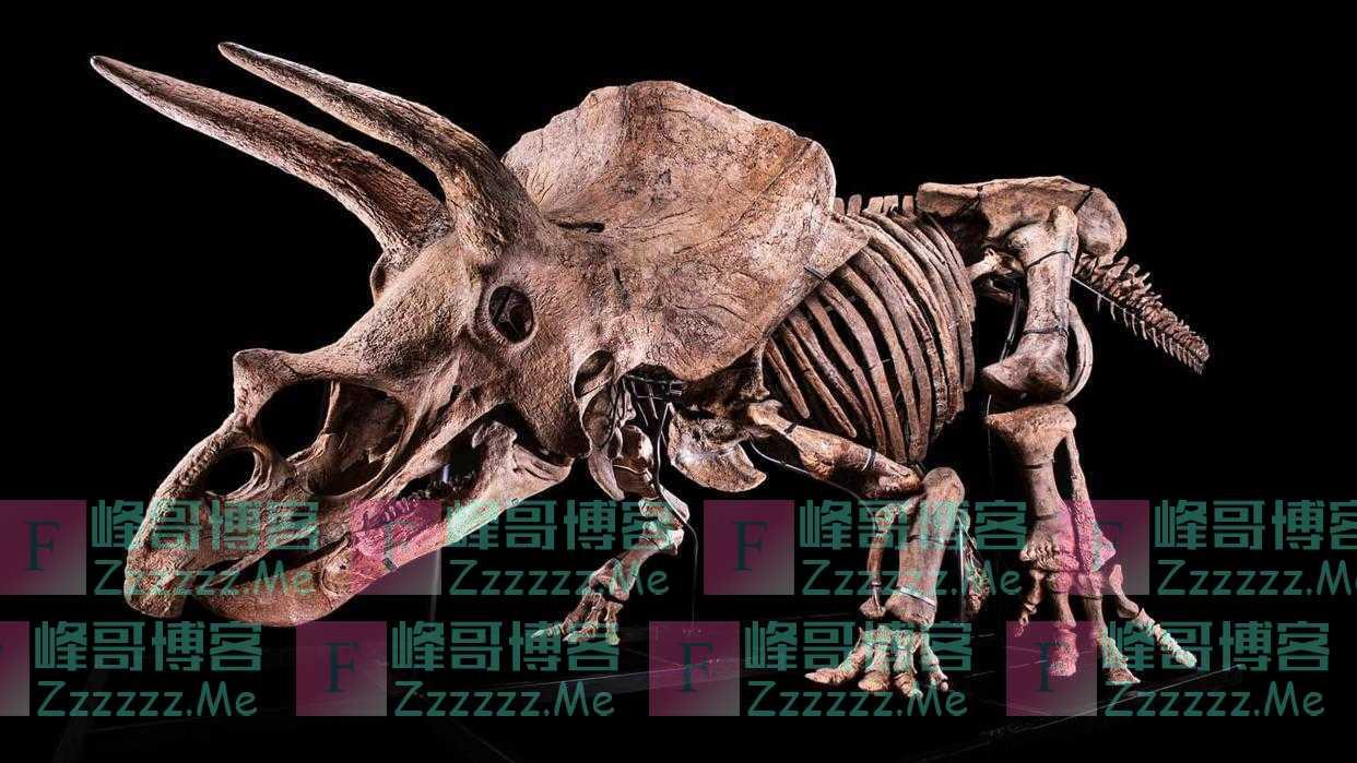 """世界上最大三角龙化石""""大约翰""""将被拍卖"""