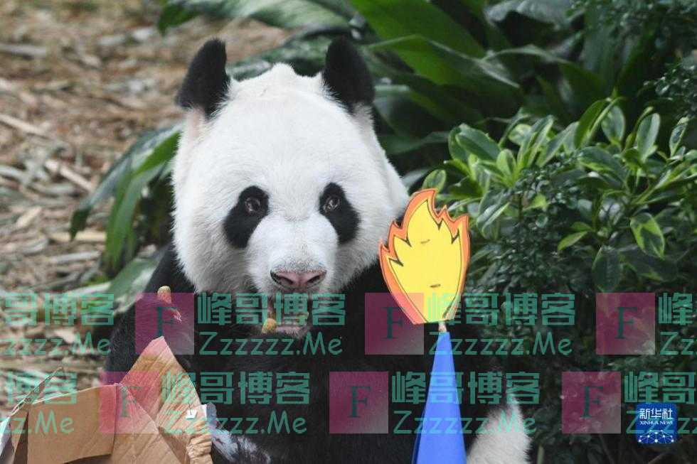"""新加坡:为大熊猫""""凯凯""""庆生 并确定其幼崽为雄性"""