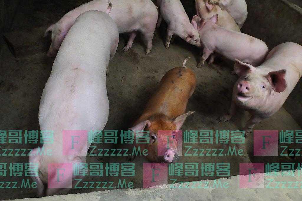 美媒:猪肉价格波动幅度大,中国养猪户放弃债务驱动的扩张计划