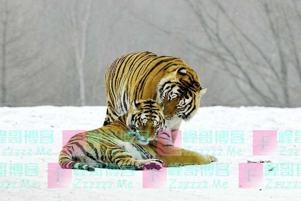 至少55只东北虎!美媒:中国东北大猫回来了