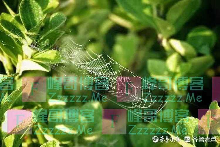 国庆悦 晨光下的蜘蛛网