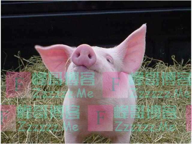 美国:猪肾移植人体实验成功 近三日未有排异反应